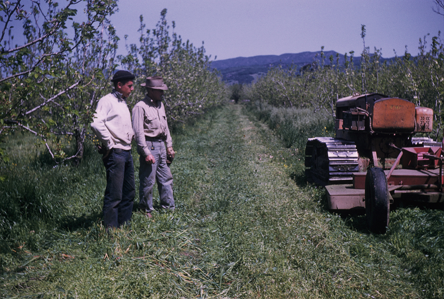 Orchard management: historic photo.