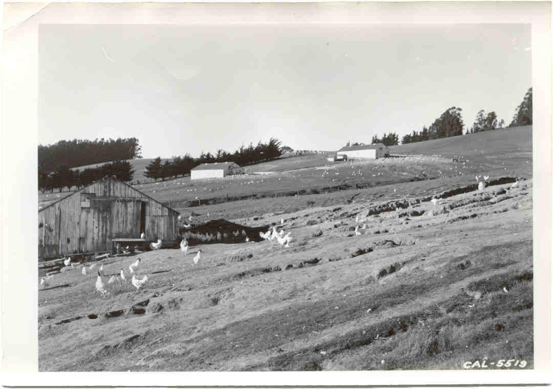 Petaluma chicken ranch erosion: historic photo.