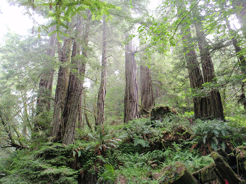 Coastal Redwood forest.